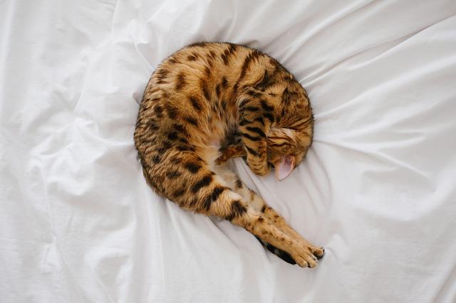 Dlaczego mój kot oddaje mocz w łóżku?