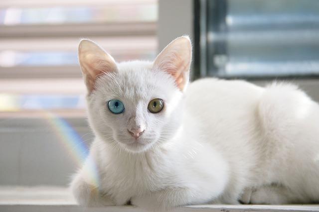 Porównanie cech kotów perskich i syjamskich